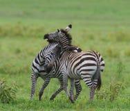 2 зебры в саванне Кения Танзания Национальный парк serengeti Maasai Mara Стоковое Изображение RF