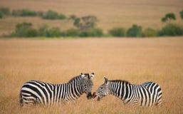 2 зебры в саванне Кения Танзания Национальный парк serengeti Maasai Mara Стоковые Изображения RF