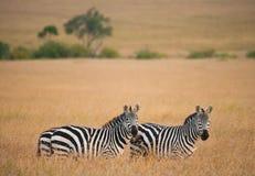 2 зебры в саванне Кения Танзания Национальный парк serengeti Maasai Mara Стоковое Фото