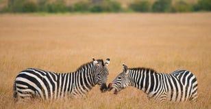 2 зебры в саванне Кения Танзания Национальный парк serengeti Maasai Mara Стоковое Изображение