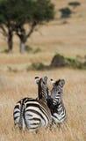 2 зебры в саванне Кения Танзания Национальный парк serengeti Maasai Mara Стоковое фото RF