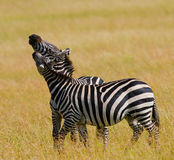 2 зебры в саванне Кения Танзания Национальный парк serengeti Maasai Mara Стоковые Фотографии RF