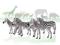 Зебры в саванне Стоковая Фотография