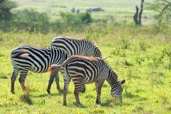 Зебры в саванне Стоковые Изображения