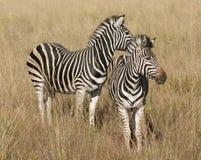 Зебры в саванне Стоковое фото RF