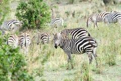 Зебры в саванне, Masai Mara, Кении Стоковые Фотографии RF