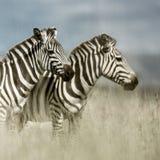 2 зебры в саванне, Serengeti, Африке Стоковые Изображения RF