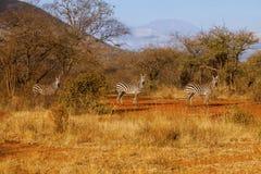 Зебры в саванне Tsavo восточной, Кении Стоковое Изображение RF
