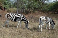 2 зебры в сафари Стоковое Фото