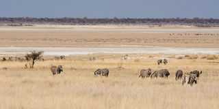 Зебры в степи на лотке Etosha Стоковое Изображение RF