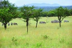 Зебры в Танзании, Африке Стоковое Фото