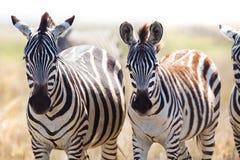 2 зебры в Танзании Стоковые Изображения
