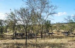Зебры в Танзании Стоковое фото RF