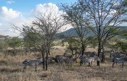 Зебры в Танзании Стоковое Изображение