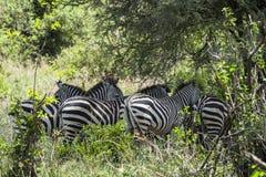 Зебры в Танзании Стоковое Изображение RF