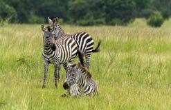 3 зебры в траве на саванне Стоковое Изображение