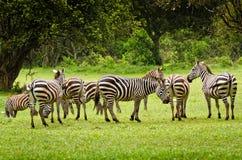 Зебры в Aberdare, Кении Стоковая Фотография