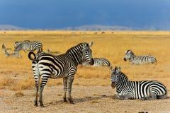 Зебры в Amboseli NP, Кении Стоковая Фотография RF