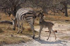 Зебры в bush. Стоковое фото RF