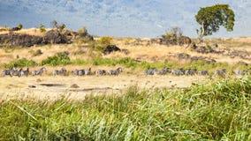 Зебры в Ngorongoro Crateri, Танзании Стоковое Изображение RF