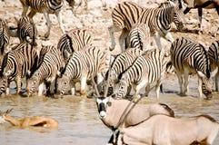 Зебры в Okaukuejo Стоковое Изображение