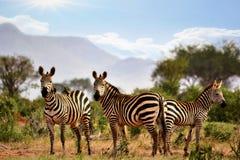 Зебры в Savana Стоковое Фото