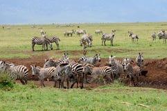 Зебры в Serengeti, Танзании. Стоковые Изображения
