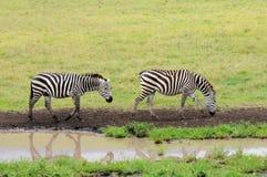 Зебры в Serengeti, Танзании. Стоковое Изображение RF