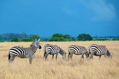 Зебры в Serengeti, Танзании. Стоковая Фотография RF