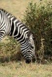 Зебры в Serengeti, Танзании. Стоковая Фотография
