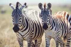 2 зебры в Serengeti Танзании Стоковое Изображение