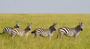 Зебры в Serengeti, Танзании Стоковое фото RF