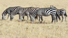 Зебры в Serengeti, Танзания Стоковое Фото