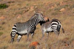 Зебры горы в естественной среде обитания Стоковые Изображения RF