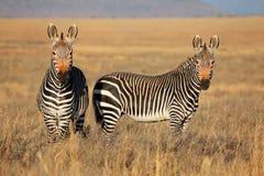 Зебры горы накидки Стоковые Изображения