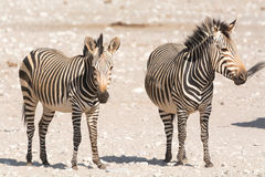 2 зебры горы hartman в пустыне стоковое изображение