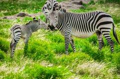 Зебры горы Hartmann Стоковое Изображение RF
