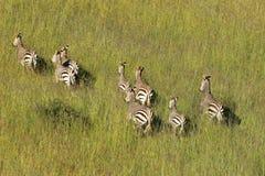 Зебры горы Hartmanns Стоковая Фотография RF