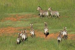 Зебры горы Hartmanns Стоковое Изображение RF