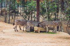 Зебры едят зеленую траву в парке сафари Стоковые Изображения RF