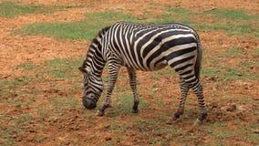 Зебры едят зеленую траву видеоматериал