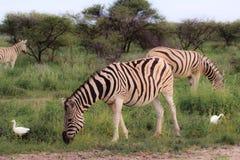Зебры есть и пася в кустах парка Etosha Стоковые Фото