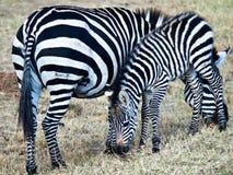 2 зебры есть траву Стоковая Фотография RF