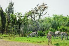Зебры есть хранят траву на, который Стоковое Изображение