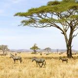 Зебры едят траву на саванне в Африке Стоковые Фото