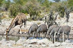 Зебры, жирафы - Etosha, Намибия Стоковая Фотография RF