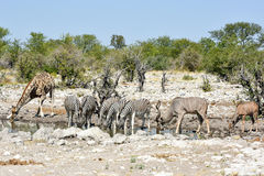 Зебры, жирафы - Etosha, Намибия Стоковая Фотография