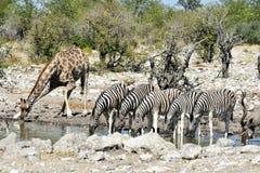 Зебры, жирафы - Etosha, Намибия Стоковое Изображение RF