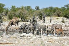 Зебры, жирафы - Etosha, Намибия Стоковые Фото
