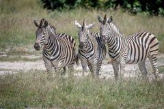 3 зебры играя главные роли на камере Стоковое Изображение RF